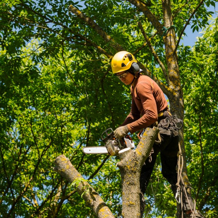 An,Arborist,Cutting,A,Tree,With,A,Chainsaw